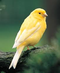 Canary harzer or roller