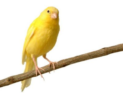 Saxon or common canary