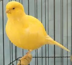 Canario border fancy amarillo