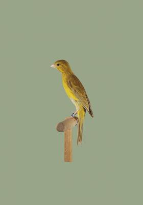 Hosso Canary
