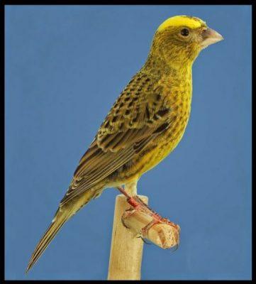 Canary lizard