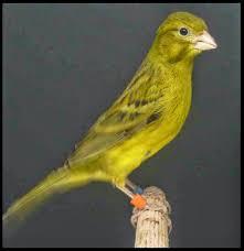 Spanish miniature canary