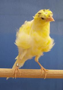 Rinsed Canary Fiorino