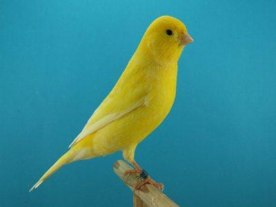Canarios amarillo
