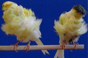 Canarios paduanos amarillo blanco
