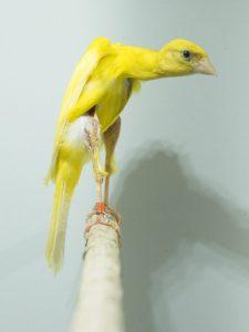 Gibber italicus amarillo