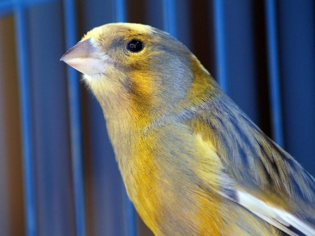 The Canaries in History