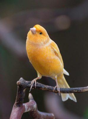 Timbrado español amarillo