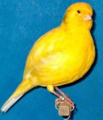 Canary border fancy
