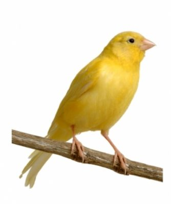 common canary yellow
