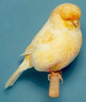 Norwich Canary
