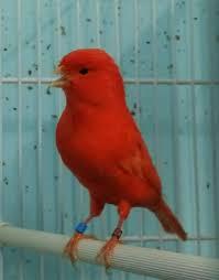 Canarios rojo