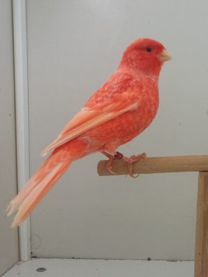 Snowy red canary