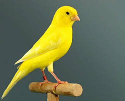 Intense yellow canaries
