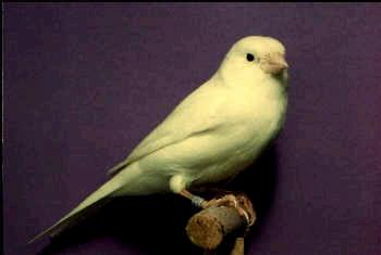 Ivory Yellow Canaries