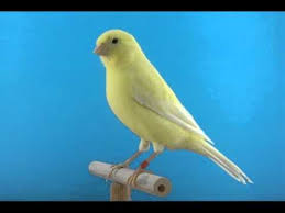 Snowy yellow canaries