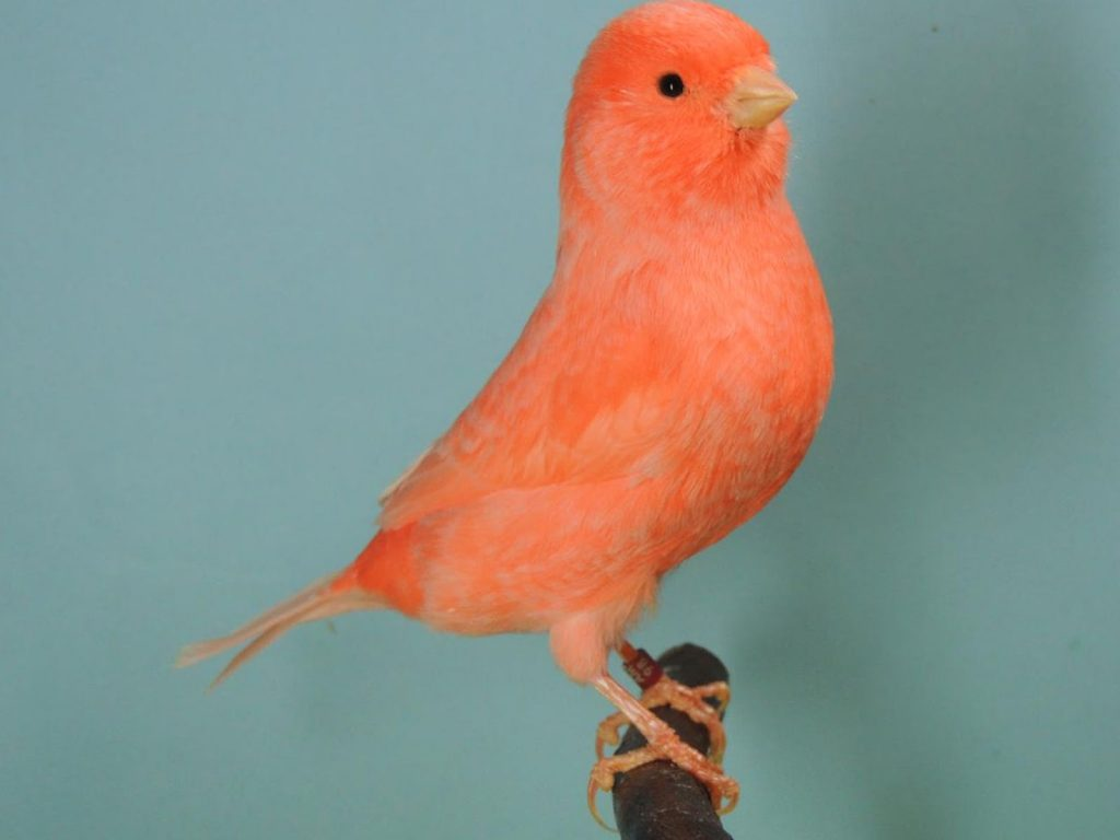 ivory red canary