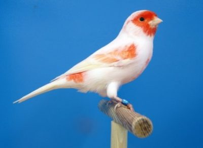 mosaic red canary