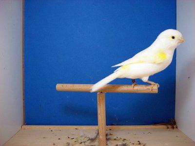 Mosaic Yellow Canaries