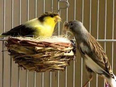 Primeros pasos para la reproducción de canarios