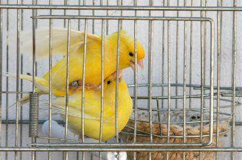 apareamiento de canarios