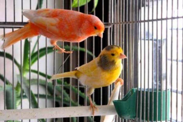 Tips for having a pet canary