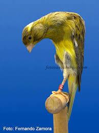 canary bossu
