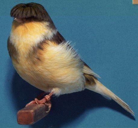 Canario crested