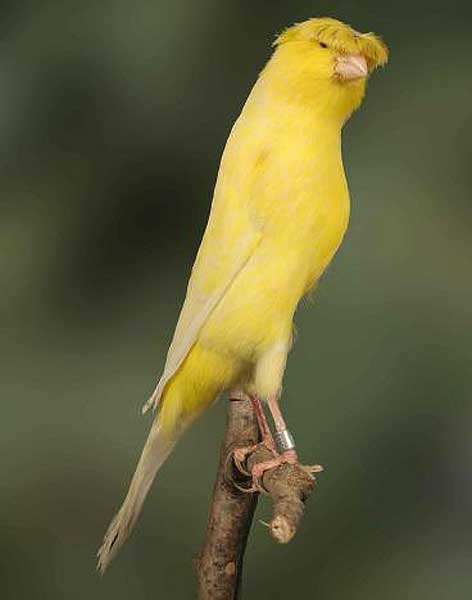 canary lancashire