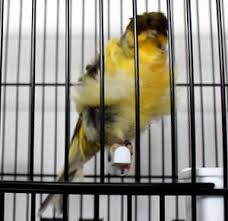 Canary Padovano