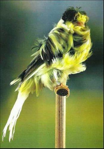 Canario padovano