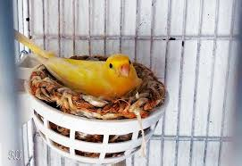 canary incubating