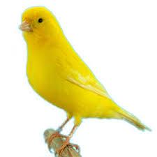 canario común