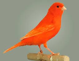 Pájaros Canarios Todas Las Razas De Canarios