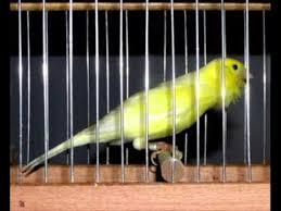 Canary malinois