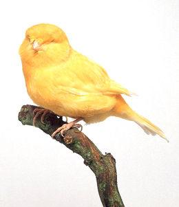 Norwich Canary
