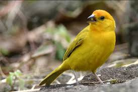 Canary roller