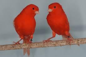 canarios de factor rojo