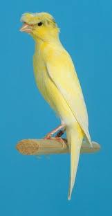 canarios muniqués