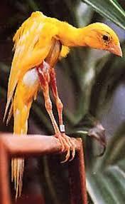 Gibber italicus