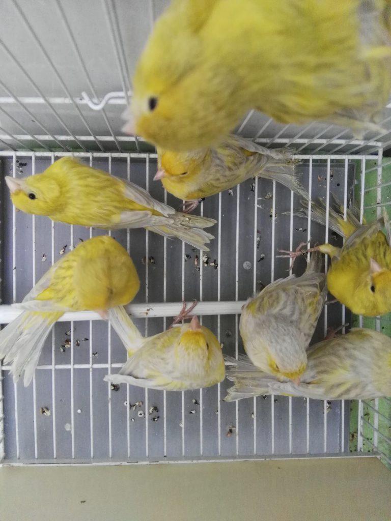 ágata opal amarillo