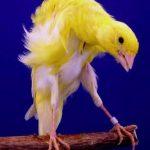 Melado Canary